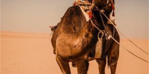 Dónde montar en camello en Tenerife
