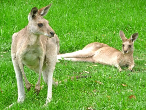 Dónde ver animales en Australia - Ver canguros en Australia: los mejores parques