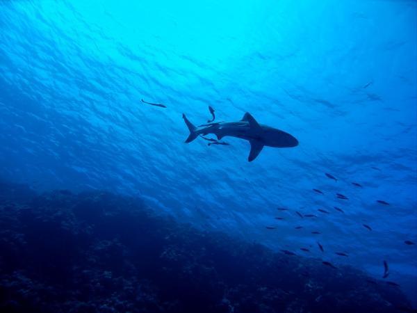 Dónde nadar con tiburones en Australia - Julian Rock, una experiencia de buceo con tiburones